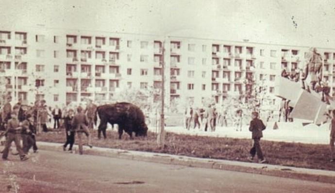 Зубр гуляет по Солигорску